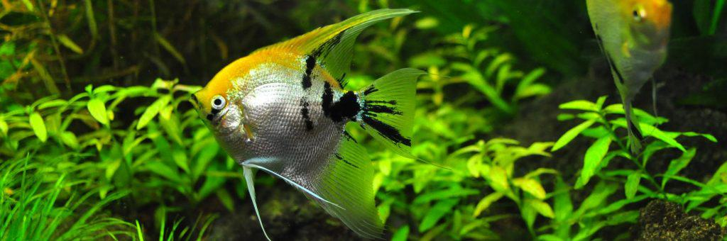 Angel Fish Inside Aquarium