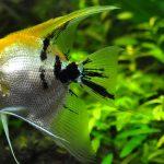 Angel Fish Inside Aquarium