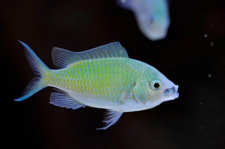 Close up Photo of Green Chromis