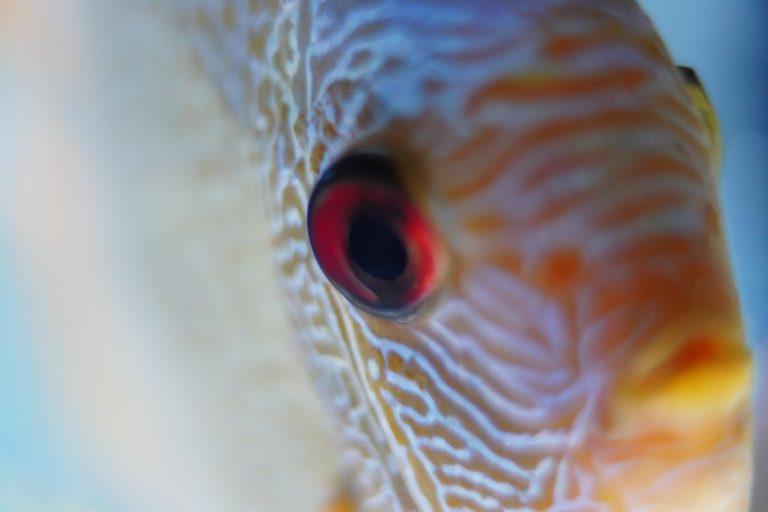 Discus Fish Close Up Photo