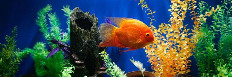 Goldfish Swimming Inside Aquarium