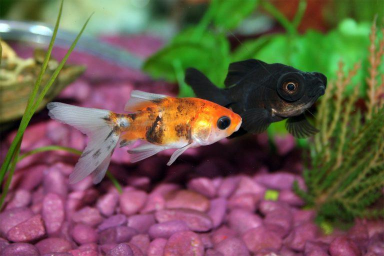Goldfish Swimming at the Bottom of an Aquarium