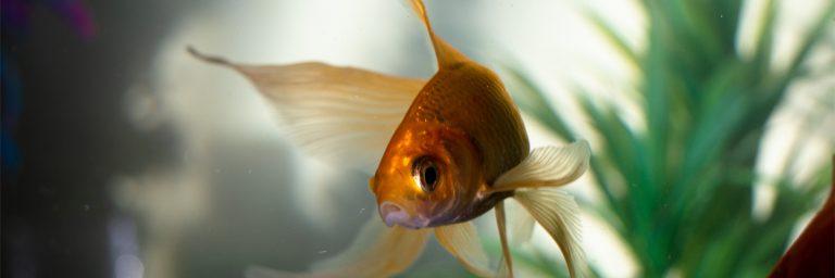 Goldfish Swimming in Aquarium Featured Image