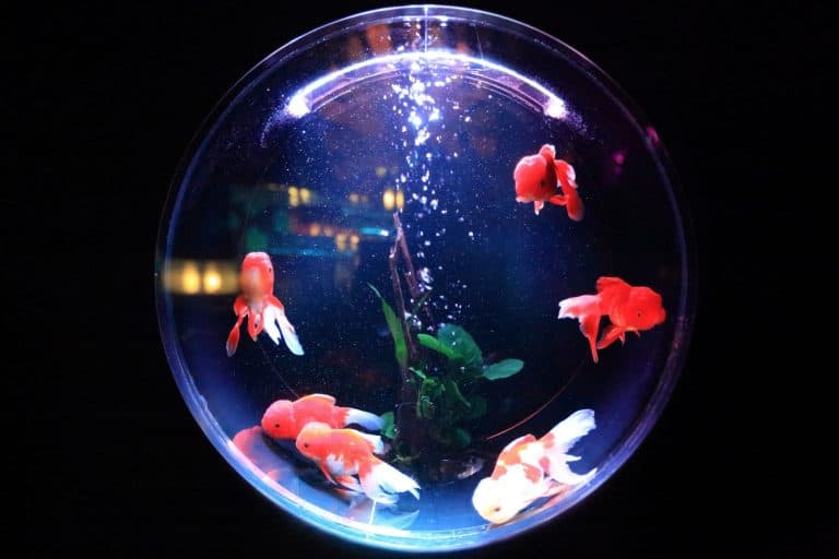 Goldfish in Aquarium Round Window
