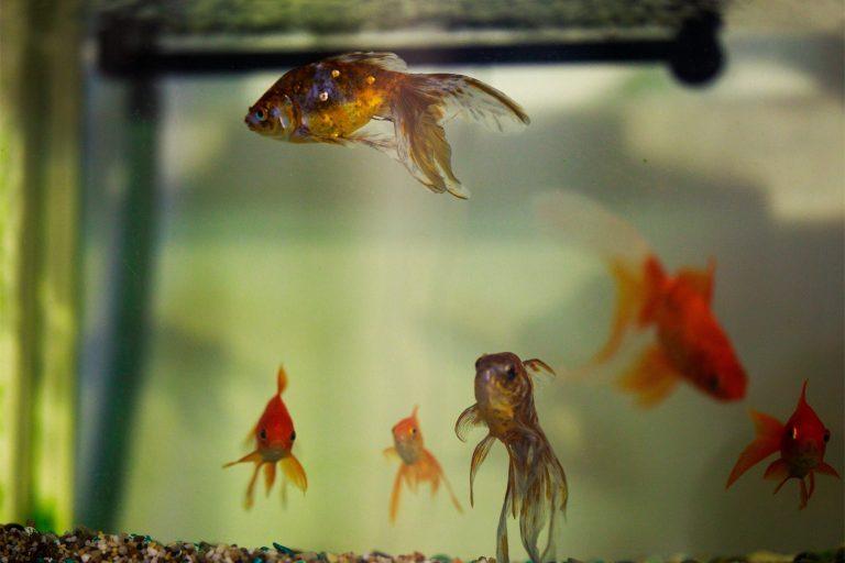 Goldfish inside Aquarium