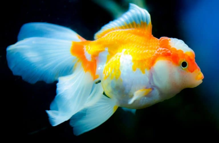 Orange and White Goldfish