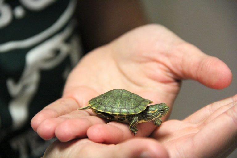 Pet Turtle Held in Hand