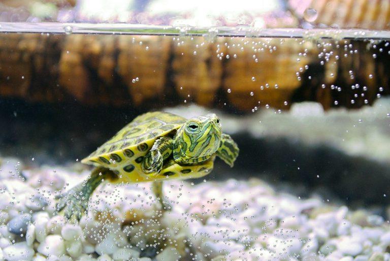 Pet Turtle Inside Aquarium