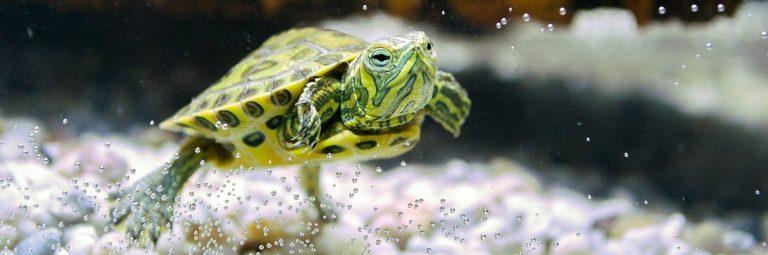 Pet Turtle Inside Aquarium Edited