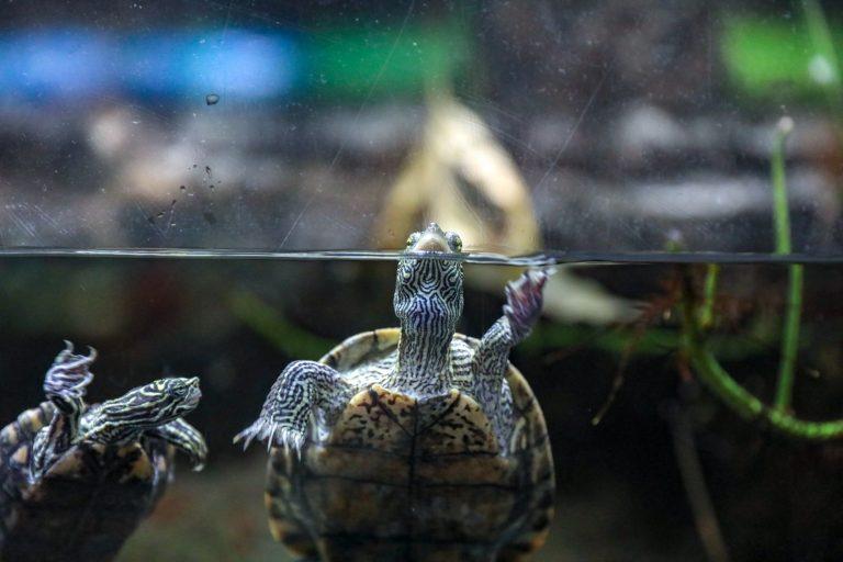 Turtle On The Side of Aquarium Glass