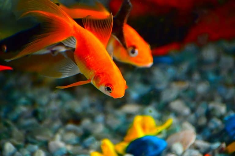 Two Goldfish Side by Side inside Fish Tank