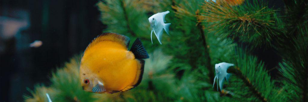 Yellow Fish Swimming in Aquarium Featured Image