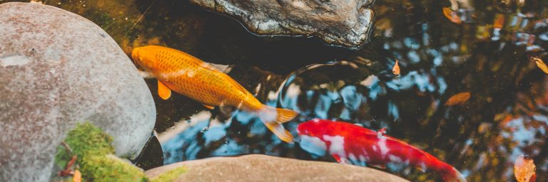 Fish Pond Featured Image