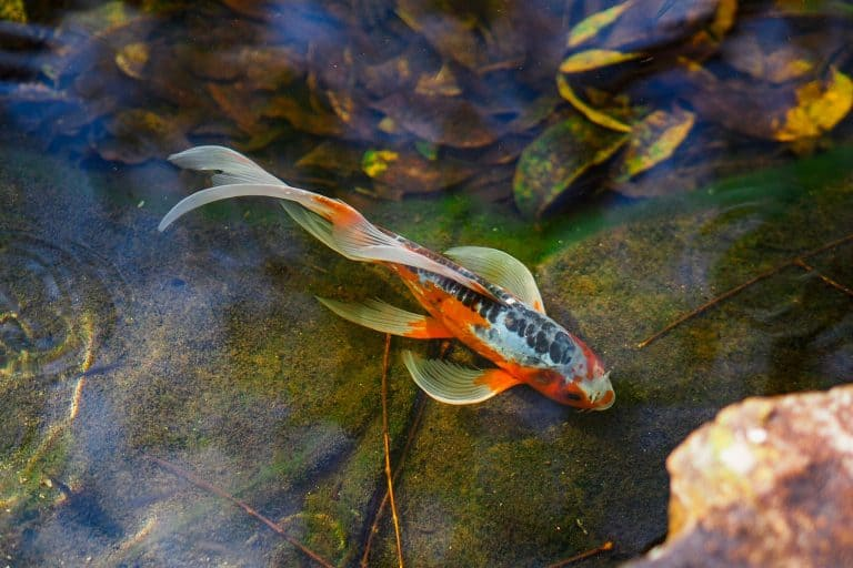 Koi Fish Swimming at the Bottom of the Pond