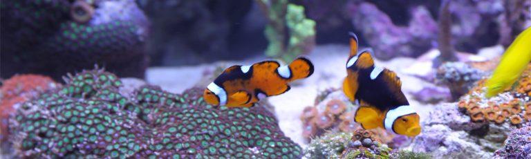 Two Orange Fish Swimming Inside Aquarium