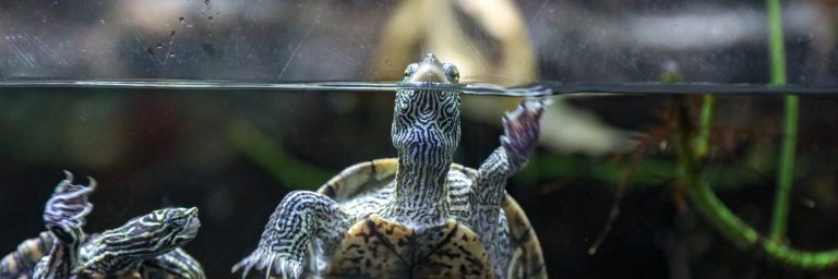 Automatic Turtle Feeder Featured Image