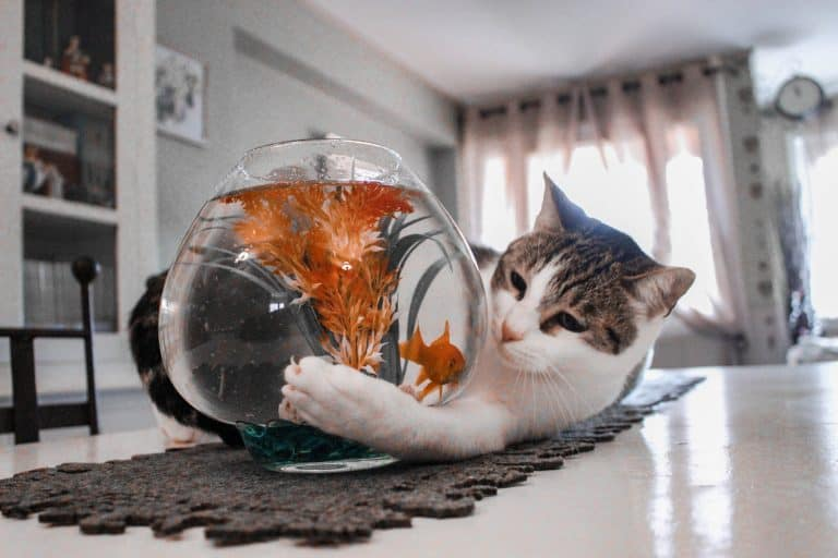 Cat Playing with a Fish Bowl