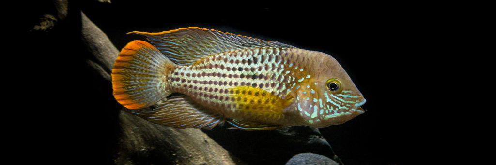 Featured Image Yellow American Cichlid