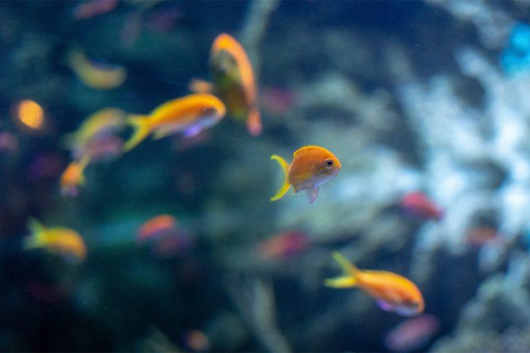 Orange Fish Swimming In an Aquarium