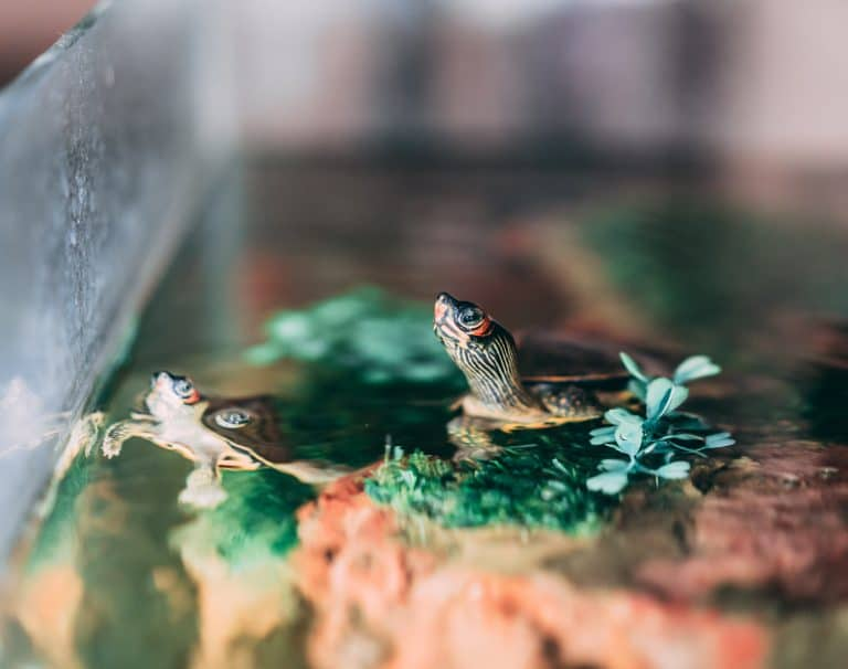 Two Turtles Swimming Above Water Inside Aquarium
