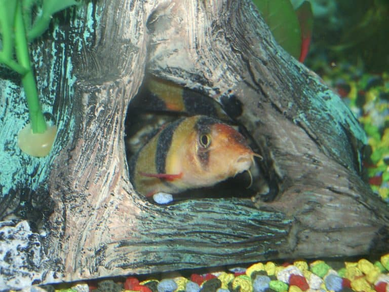 Clown Loach With Ich