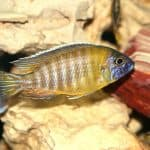 New Yellow Regal Cichlid