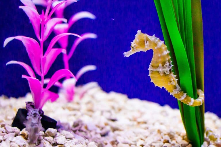 Seahorse Anchored to a Plant