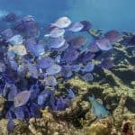 School of Surgeonfish