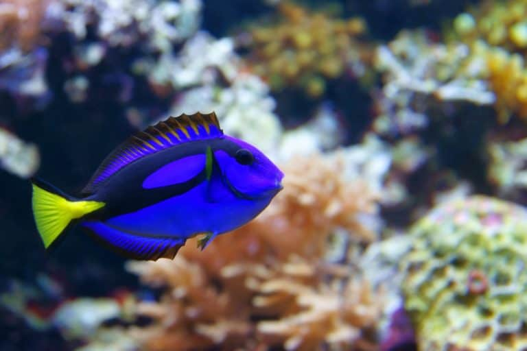 Blue Tang in a Fish Tank