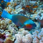 Breeding parrotfish