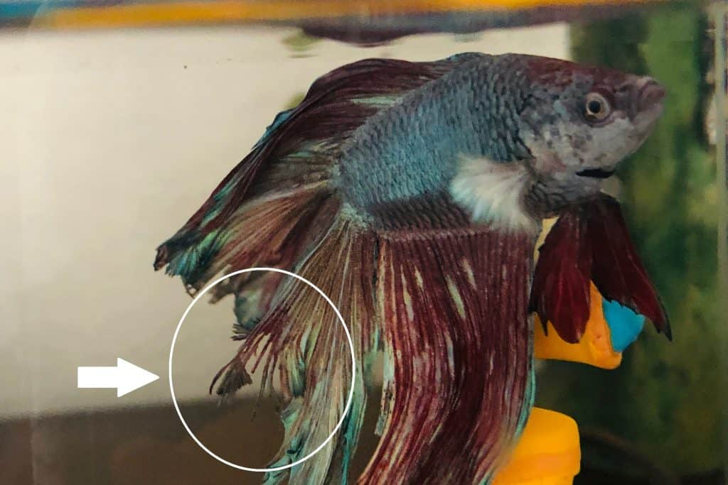 Fin Rot on Betta Fish by Dizzy Respect