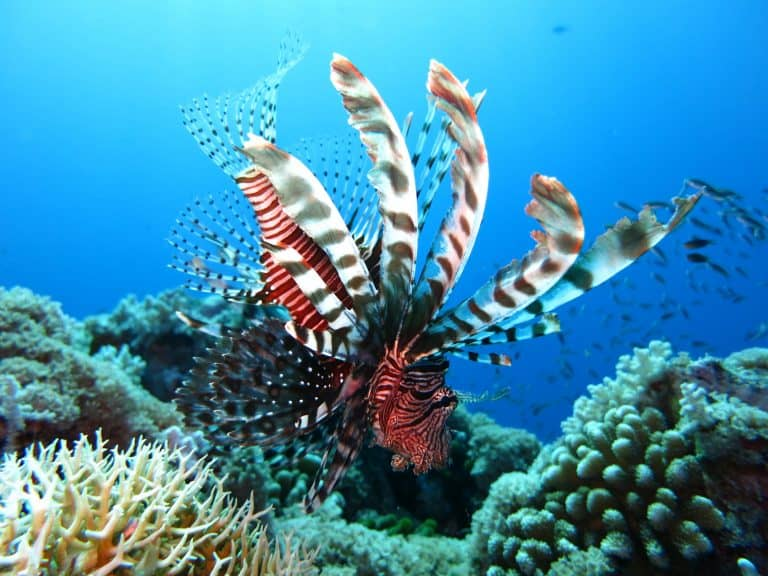 Lionfish Swimming Near Seabed