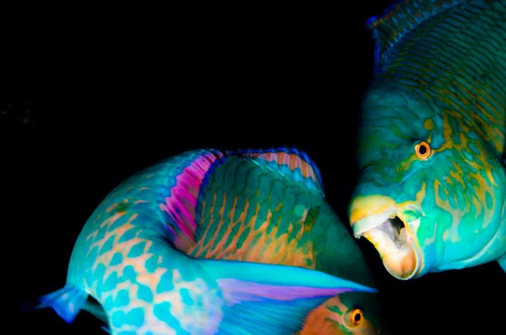 Pair of Parrotfish