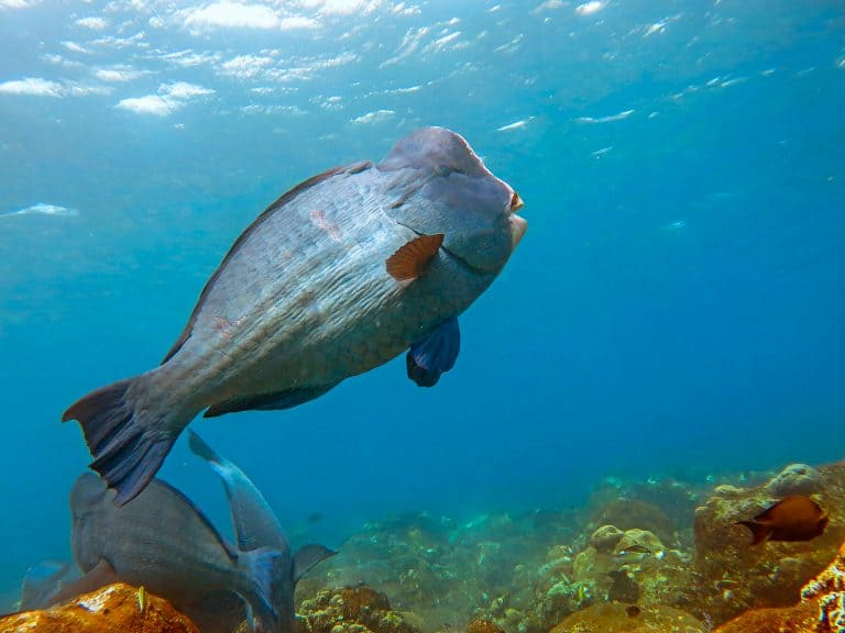 Parrotfish Swimming Towards the Surface