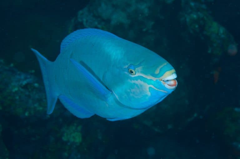 Queen Parrotfish Showing Its Teeth by G. P. Schmahl