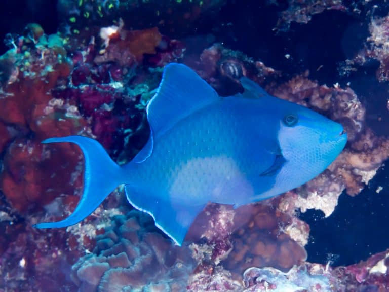 Redtoothed Triggerfish By Rickard Zerpe