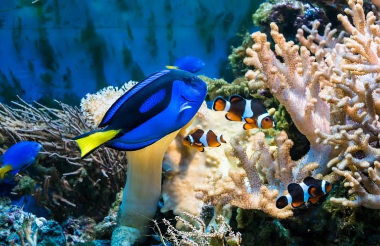 Regal Surgeonfish with Clownfish