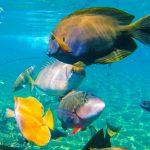 Tankmates - parrotfish