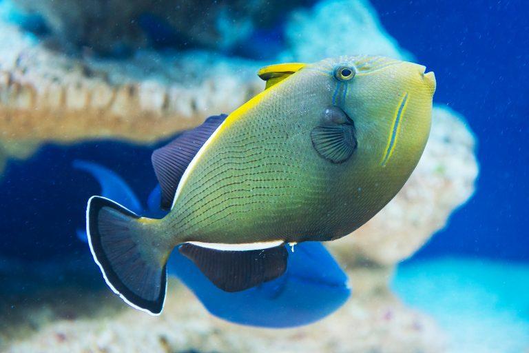 Triggerfish Swimming inside a Fish Tank