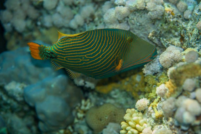 Triggerfish near Coral Reef
