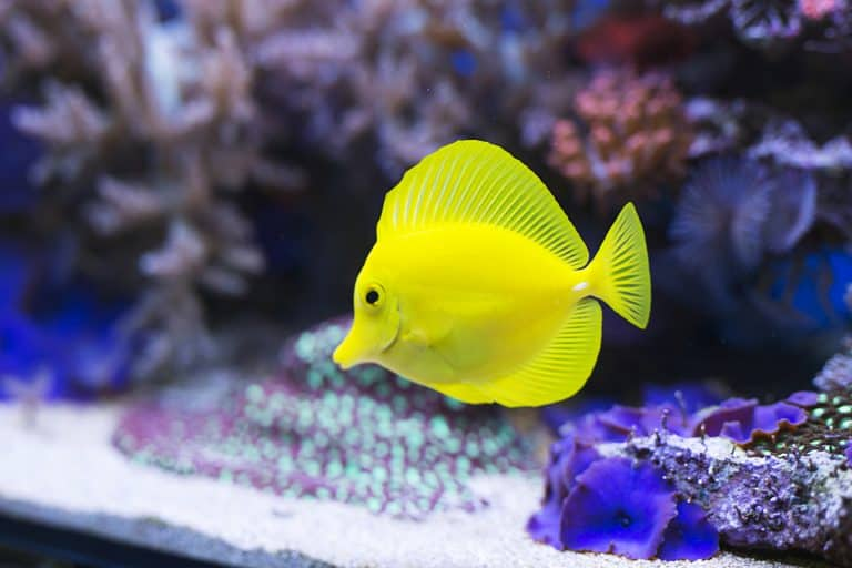 Yellow Tang in a Fish Tank