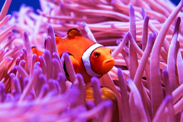 Clownfish Inside Sea Anemone