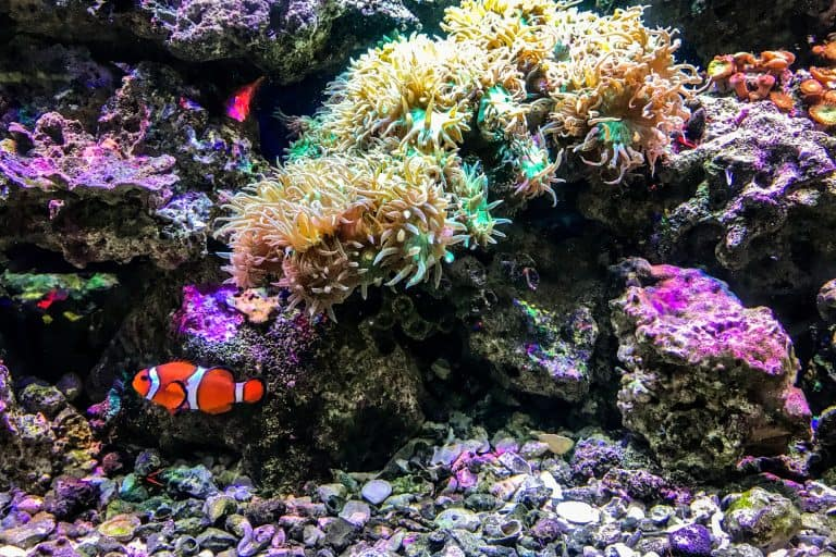 Clownfish in a Fish Tank