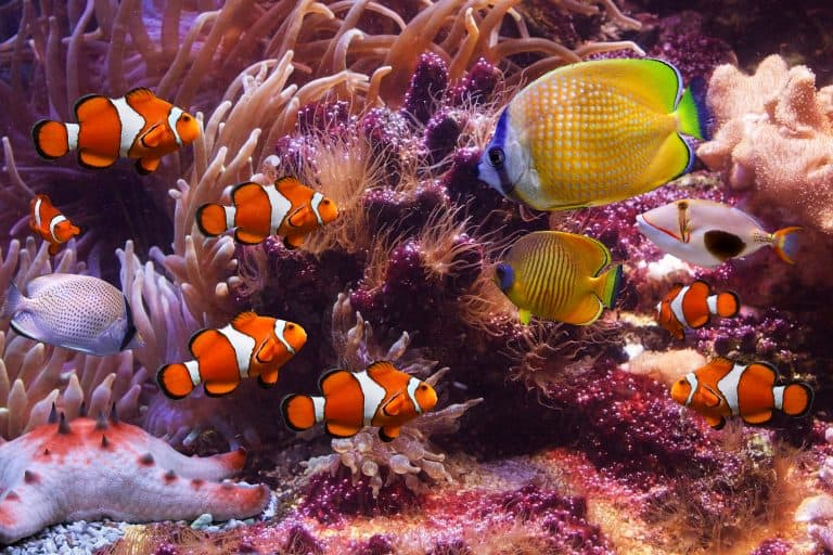 Clownfish with Other Fish