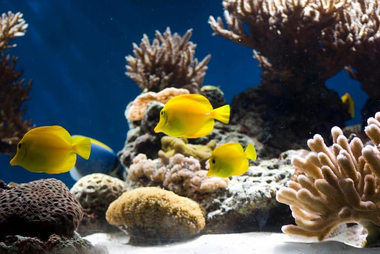 Yellow Tangs in a Reef Tank